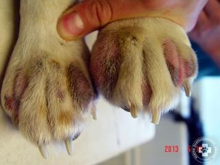 A lábvégek bőrének súlyos gyulladása atópiás beagleben.