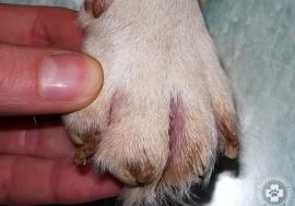 Szisztémás Lupusz Eritematózuszban szenvedő Jack Russel terrier karomdeformitása