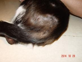 bolhásság okozta bőrtünetek macskán.JPG