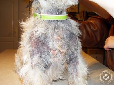 Lichenifikáció allergiás WHW terrier nyakán.
