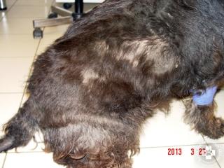 Pajzsmirigy-elégtelenség esetén sokszor foltszerű szőrhiányos területek alakulnak ki az állat hátán, oldalán.