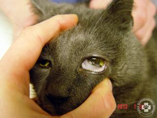 Vérfogyottság macskaleukózisos macskában