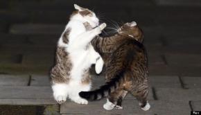macska verekedés.jpg