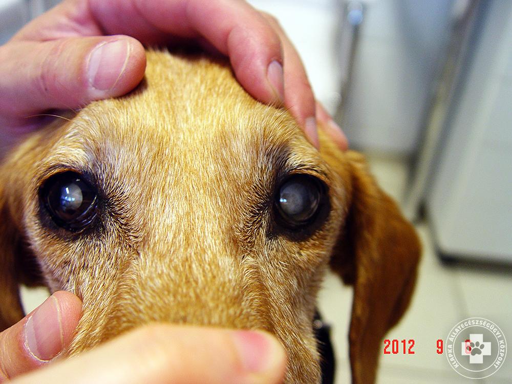 Szürkehályog tünetek és kezelés állatoknál 35729a5372