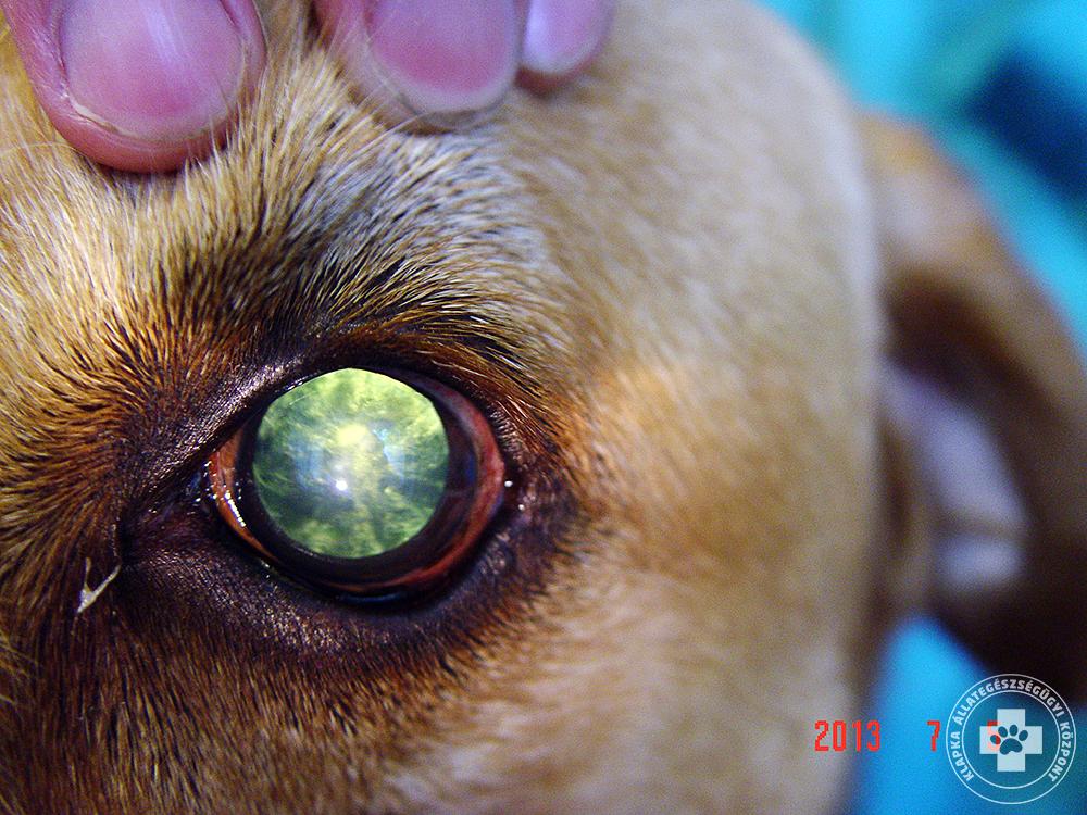 szürkehályog műtét kutyáknál)