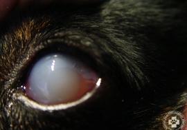 glaukoma_zoldhalyog_02