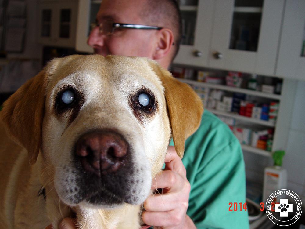 szürkehályog műtét kutyáknál