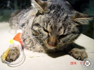 Vesebeteg macska infúziós kezelése