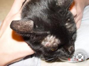 macska viszketés a fejen