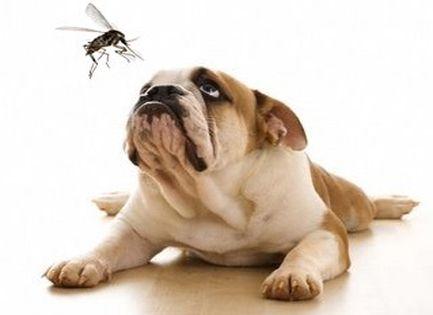 Ami nekünk a koronavírus, az a kutyáknak a szívférgesség - EgészségKalauz