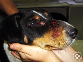 Akut eozinofil cellulitisz nevű bőrbetegség kutyában